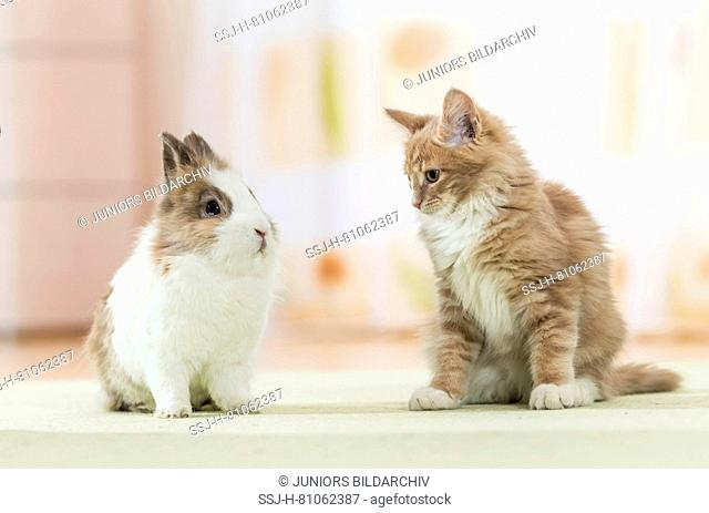 American Longhair, Maine Coon. Kitten sitting next to Lionhead Rabbit on a rug. Germany