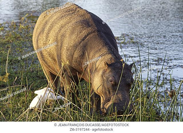 Hippopotamus (Hippopotamus amphibius), wading and grazing in the shallow water of the Sabie River, followed by two cattle egrets (Bubulcus ibis) and an African...