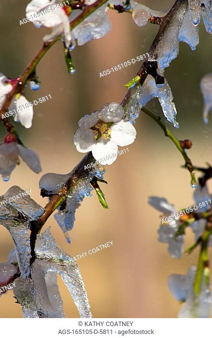 Agriculture - Almond blossoms and new foliage coated in ice during a deep freeze to protect the trees and blossoms from freeze damage / Northern CA - Tehama...