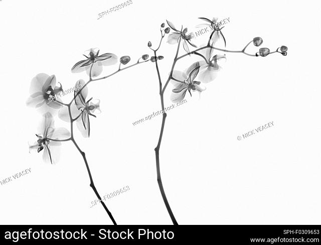 Orchid stems (Phalaenopsis sp.), X-ray