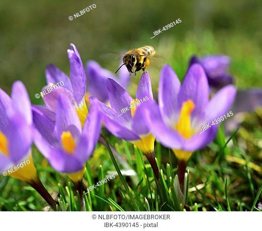 Honeybee (Apis mellifera) hovering over crocus flower garden (Crocus sativa hybrid), collecting pollen, Bavaria, Germany
