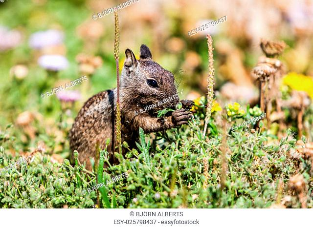 California ground squirrel (Otospermophilus beecheyi) is gnawing wild flowers