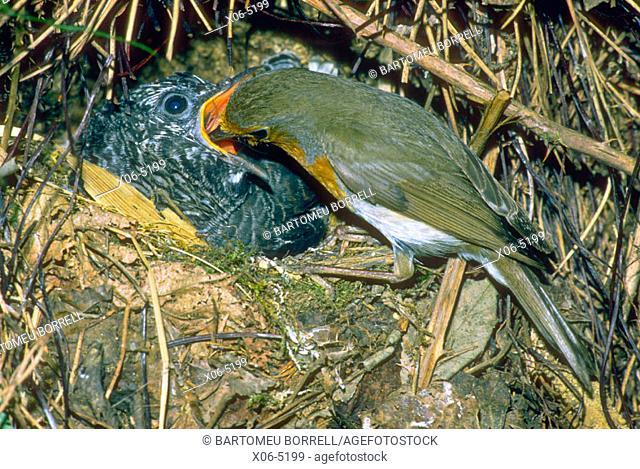 European Robin (Erithacus rubecula) feeding Cuckoo (Cuculus canorus)chick