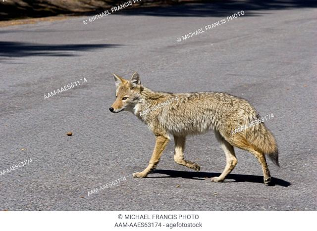 Coyote (Canis latrans), portrait on road during fall Yellowstone National Park Wyoming