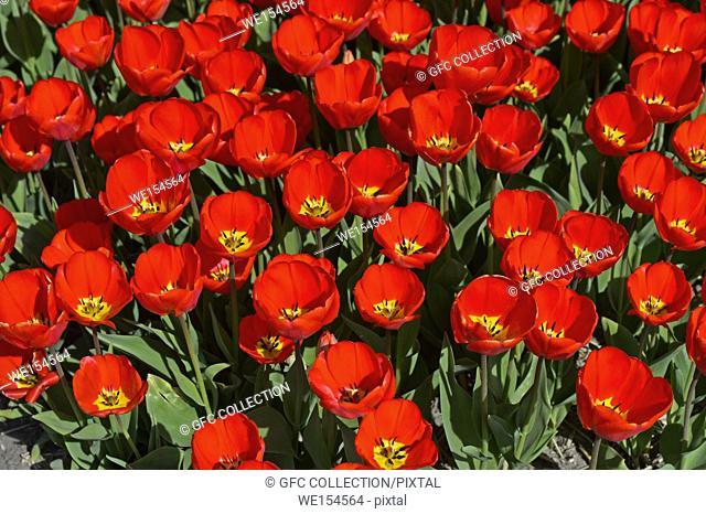 Field with red tulips in the area of Bollenstreek, Noordwijkerhout, Netherlands