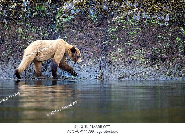 Grizzly bear, Khutzeymateen Grizzly Bear Sanctuary in British Columbia, Canada