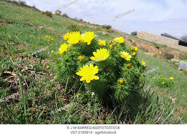 Yellow pheasant's eye (Adonis vernalis) is a perennial herb native to Eurasia. This photo was taken in Cerdanya, Girona province, Catalonia, Spain