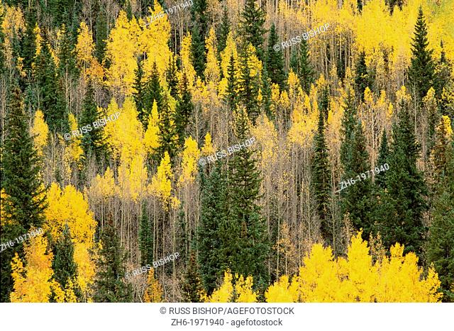 Golden fall aspens and firs in the San Juan Mountains, Uncompahgre National Forest, Colorado USA
