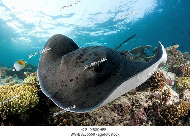 Round ribbontail ray, Black-spotted ray, Speckled stingray, Blotched fantail ray (Taeniura meyeni, Torpedo melanospila, Taeniura melanospilos)