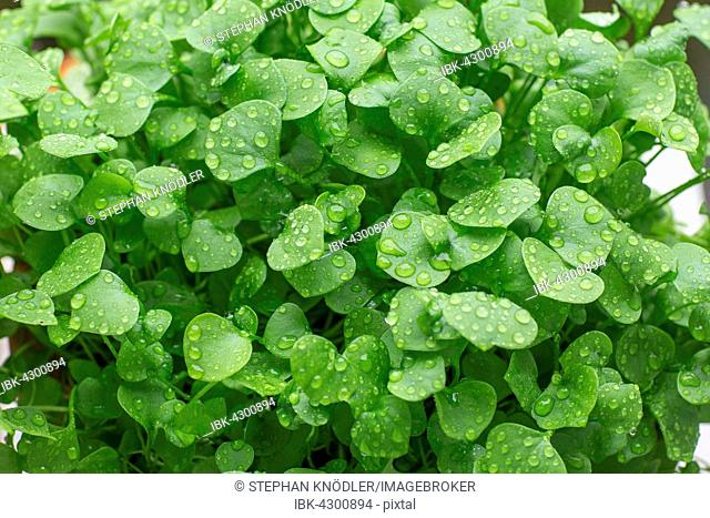 Indian lettuce, also spring beauty, winter purslane or miner's lettuce (Claytonia perfoliata), raindrops