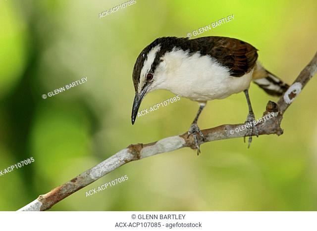 Bicolored Wren (Campylorhynchus griseus) perched on a branch in the mountains of Colombia, South America