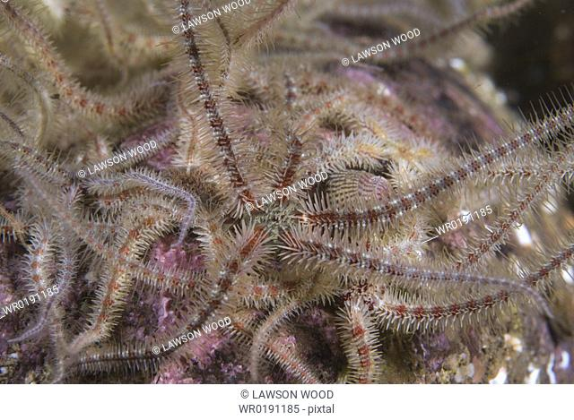 Fragile Brittlestar Ophiothrix fragilis, detail of many individuals with arms raised on gravel seabed, St Abbs, Scotland, UK North Sea