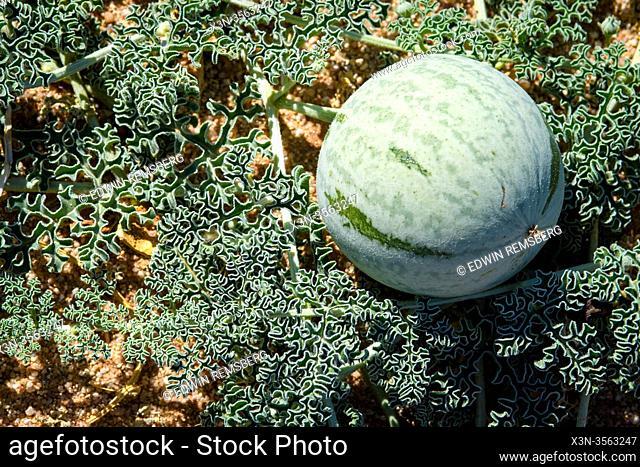 Citrullus ecirrhosus, commonly known as Namib tsamma, is a species of perennial desert vine in the gourd family, Cucurbitaceae in Aus, Karas Region, Namibia