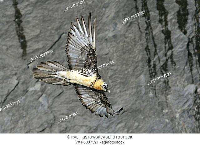 Bearded Vulture ( Gypaetus barbatus )flying in front of a steep cliff / slope, wildlife, Europe