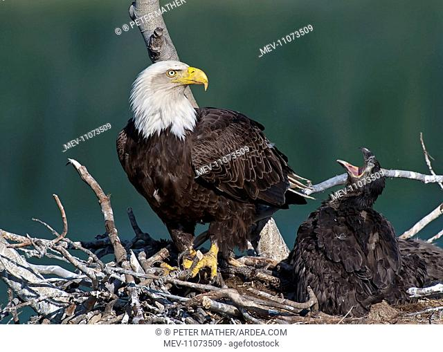 Bald Eagle adult feeding chicks at nest Yukon River, Canada. Bald Eagle feeds chicks in nest