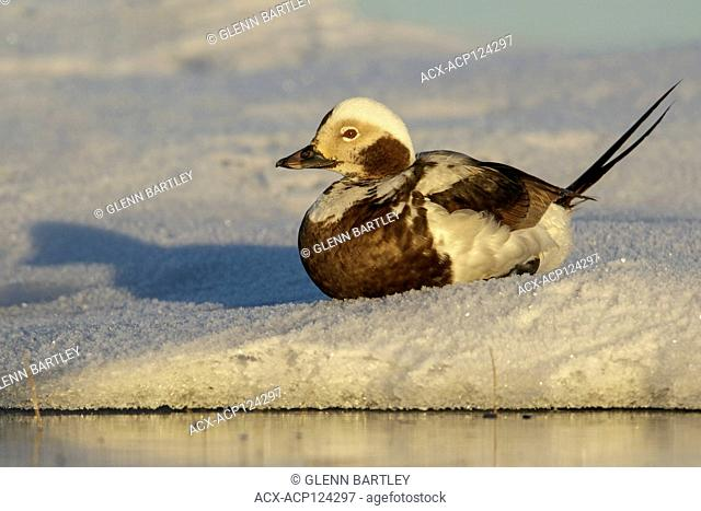 Long-tailed Duck (Clangula hyemalis) feeding on a small pond on the tundra in Northern Alaska