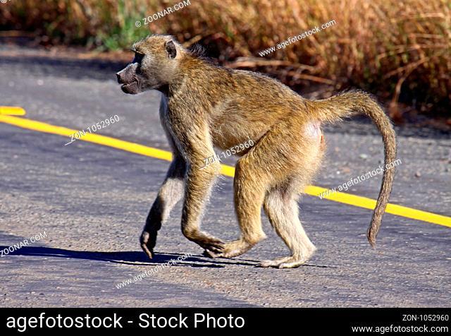 Pavian, Papio, läuft über Straße, Botswana