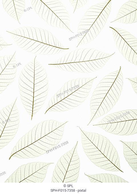 Leaf skeletons of rubber tree (Hevea brasiliensis) leaves, studio shot