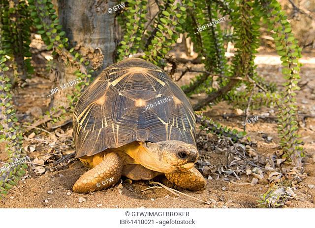 Radiated Tortoise (Astrochelys radiata), Berenty Nature Reserve, Madagascar, Africa