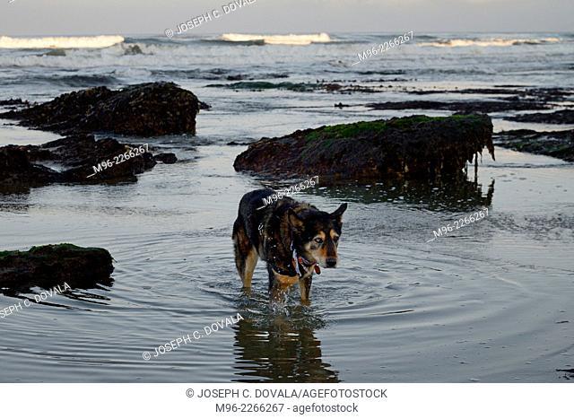 Sheppard mix dog walking through tide area, Jalama Beach, California, USA
