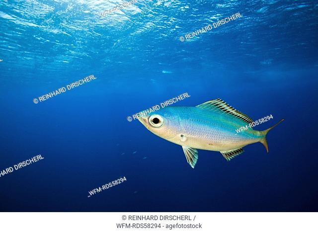 Fusilier in Blue Water, Caesio lunaris, Daedalus Reef, Red Sea, Egypt