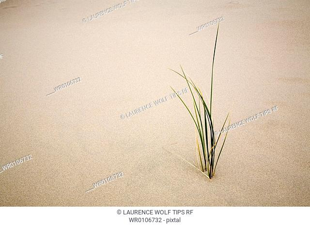 USA, Oregon,sand duns, National recreation area, grass in sand