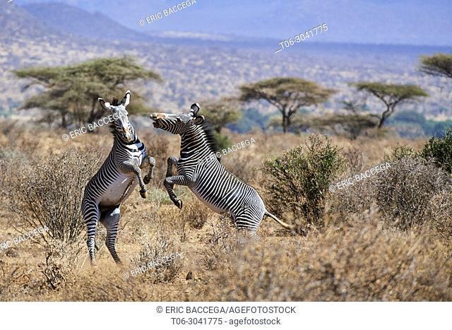 Grevy zebra stallions fighting {Equus grevyi} Samburu National Reserve, Kenya, Africa
