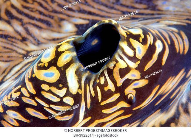 Blowhole of a Giant Clam (Tridacna gigas), Sabang Beach, Puerto Galera, Mindoro, Philippines