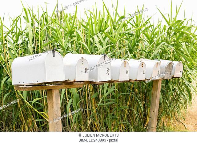 Row of mailboxes near corn stalks