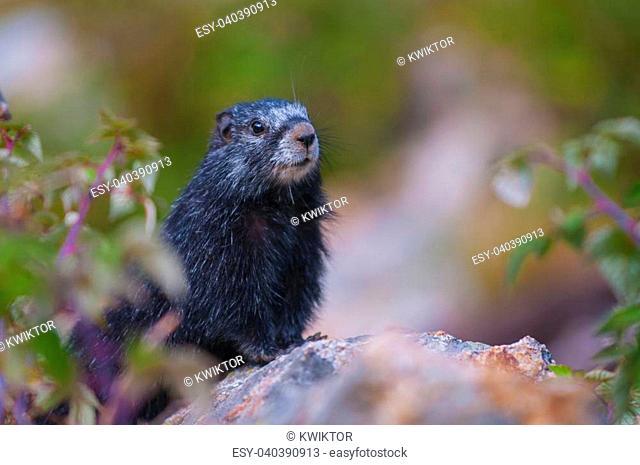 Rare Black Marmot Close-up Grand Teton National Park