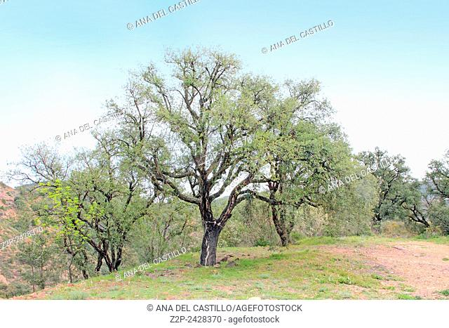 Cork trees forest in Espadan mountains Castellon Spain