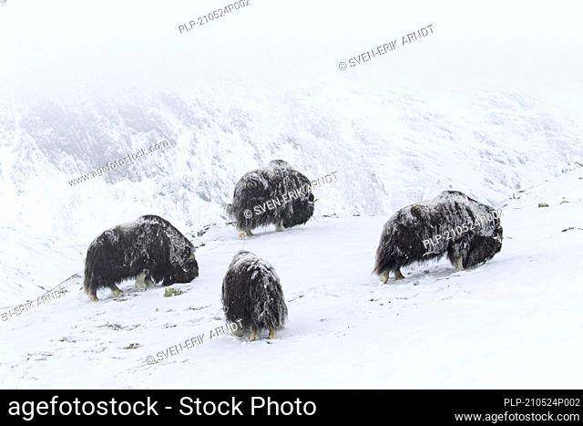 Muskoxen (Ovibos moschatus) muskox herd eating lichens on snow covered tundra in winter, Dovrefjell–Sunndalsfjella National Park, Norway