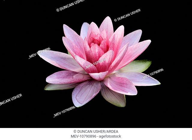 Waterlily - flowering in garden pond (Nymphaea Hybrid)