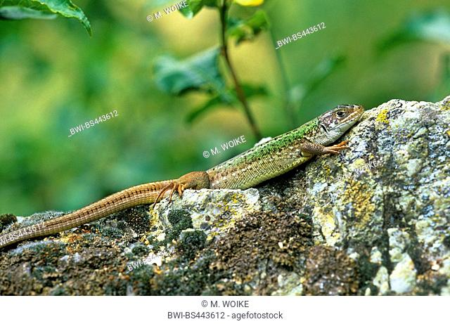 sand lizard (Lacerta agilis), male sunbathing on a stone, side view, Austria, Burgenland, Neusiedler See National Park