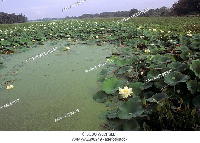 American Lotus (Nelumbo lutea) Coastal Marsh, New Jersey