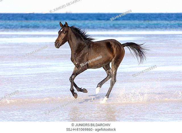 Barb horse. Bay horse galloping in shallow water. Egypt