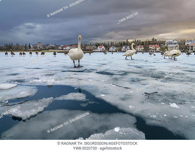 Bird life on The Reykjavik Pond, Winter, Reykjavik, Iceland