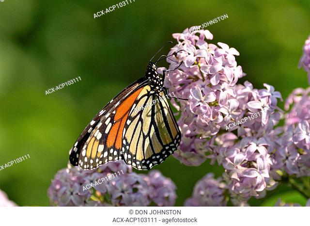 Monarch (Danaus plexippus) adult nectaring on a lilac bush, Wanup, Ontario, Canada