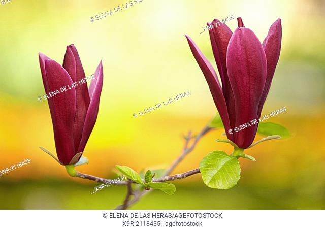 "Magnolia liliiflora """"Nigra"""" blossom at the Royal Botanical Garden. Madrid. Spain"