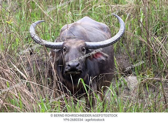 wild Water buffalo (Bubalus arnee) standing in elephant grass, endangered species, Kaziranga National Park, Assam, India