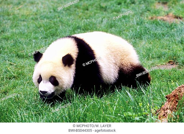 giant panda (Ailuropoda melanoleuca), eight months old panda in the resaerch station of Wolong, national animal of China, China, Sichuan, Wolong