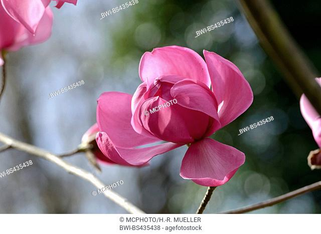 magnolia (Magnolia sprengeri 'Burncoose', Magnolia sprengeri Burncoose), cultivar Burncoose
