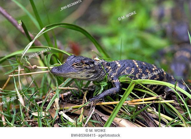 American alligator (Alligator mississippiensis), juvenile alligator lies in the gras, USA, Florida, Everglades National Park