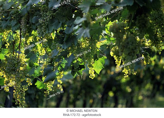 Garganega grapes, Soave, Veneto, Italy, Europe