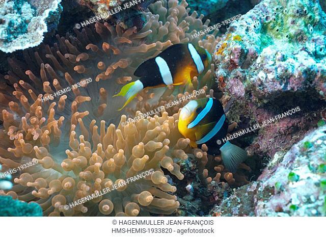 Philippines, Visayas, Cebu, clown fishs (Amphiprioninae) and sea anemone (Actiniaria) in the Sulu sea
