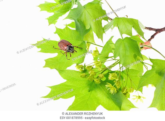 May beetle on young maple leaves