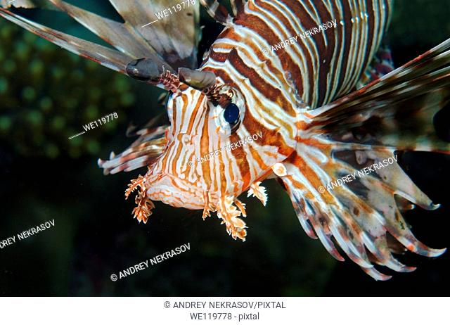 red lionfish Pterois volitans, Red Sea, Egypt, Africa