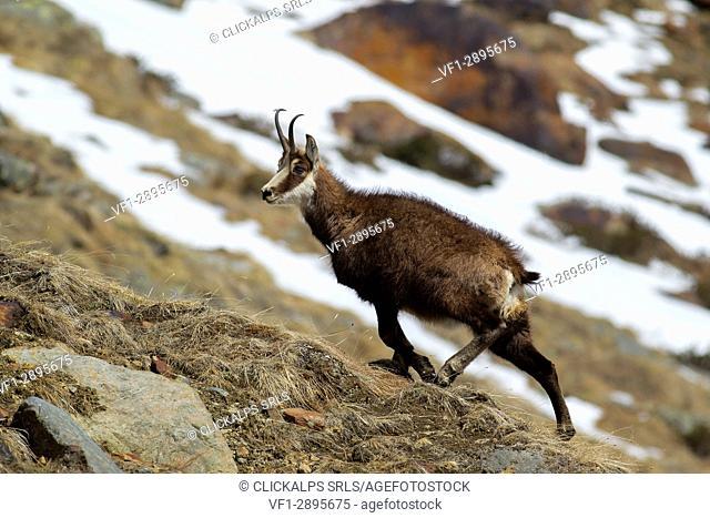 Stelvio National Park, Lombardy, Italy. Chamois