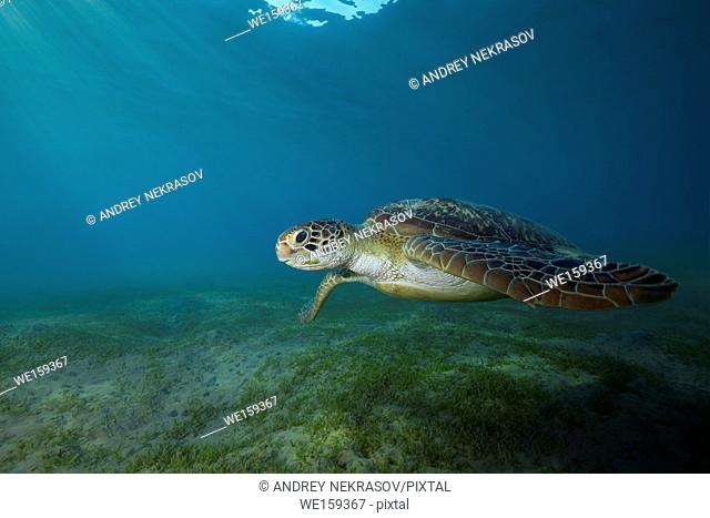 green sea turtle (Chelonia mydas) swim over sandy bottom with sea grass