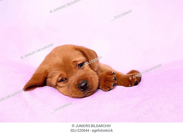 Labrador Retriever. Puppy (5 weeks old) dozing on a pink blanket. Germany. Studio picture seen against a pink background